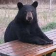 Detroit Bear