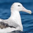 Albatross Investor